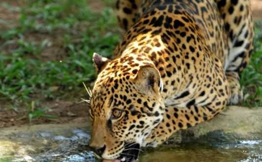 Brésil : La forêt atlantique serait en danger à cause de la disparition du jaguar