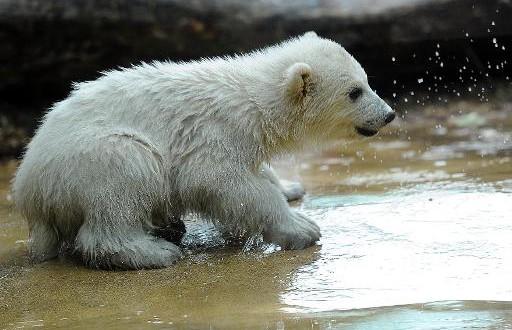 Un petit Ourson polaire au zoo de Toronto