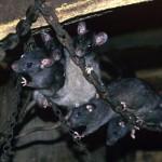 Rats cannibales Lyubov Orlova