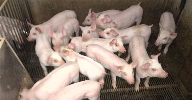 Diarrhée épidémique porcine : Le virus détecté dans une ferme au Québec