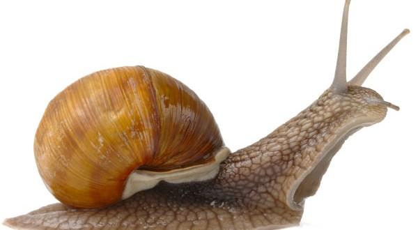 Les Escargots ont 1500 à 2500 dents