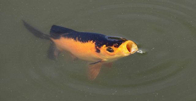 Les poissons boivent-ils de l'eau?