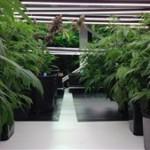 Cannabis : Le Collège des médecins du Québec révèle les instructions à suivre par les médecins
