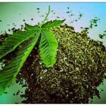 Cannabis : Une consommation occasionnelle peut nuire au cerveau