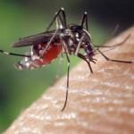Moustiques : Un million de morts chaque année
