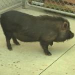 Val-des-Monts : Le cochon vietnamien capturé après 10 jours de cavale