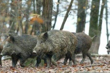 Les sangliers sauvages : Saskatchewan devrait déployer tous les moyens pour éviter les dégâts