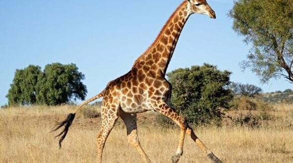La girafe est le seul mammifère qui ne baille pas