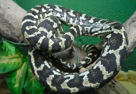 Limoilou : Le Python disparu retrouvé caché dans un sac à dos