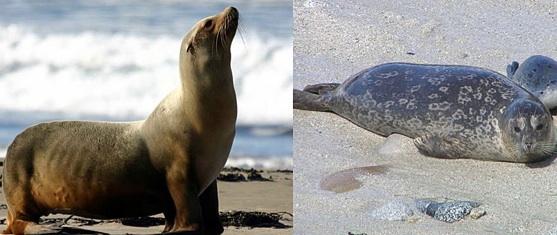 La diff rence entre un phoque et un lion de mer se remarque au niveau des ore - Difference entre sisal et jonc de mer ...