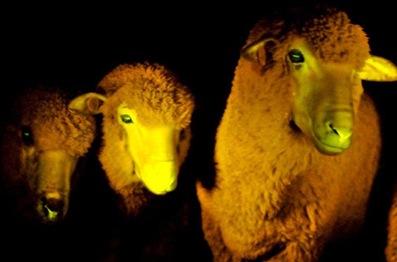 Un mouton transgénique phosphorescent lorsqu'il est placé sous une lumière ultra-violette