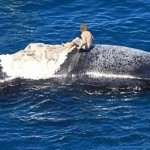 Un Australien monte sur la carcasse d'une baleine à bosse entouré de requins
