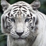 Inondations à Tbilissi : Un tigre blanc abattu après avoir tué un homme