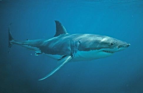 Attaque de requin sur la côte de Caroline du Nord : Un sexagénaire grièvement blessé