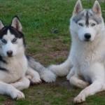 Girardville : Des chiens huskys s'échappent de leur enclos et tuent une chèvre