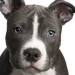 Pitbulls : Un homme pense que ses deux chiennes ont été empoisonnées