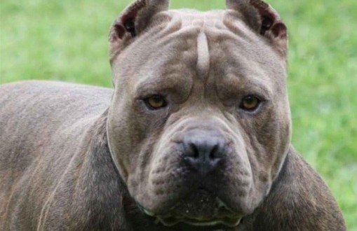 Un homme dans la cinquantaine ordonne à son chien pitbull d'attaquer sa compagne