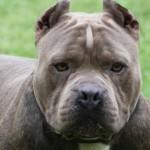 Un pitbull dévoré après une attaque de chiens à Saint-Lin-Laurentides