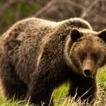 Attaque de grizzly dans le Montana : Un cycliste perd la vie