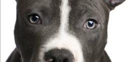 Pitbull à Montréal : Le règlement d'interdiction bientôt changé