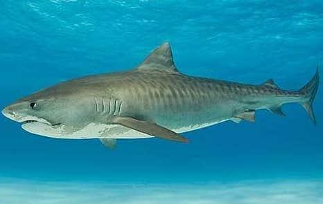 Attaque de requin tigre au Costa Rica : Une femme perd la vie