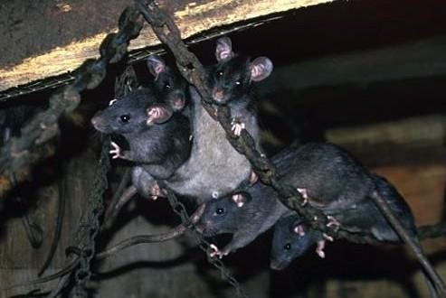 Le navire « Lyubov Orlova » inquiète les britanniques à cause des rats « cannibales »