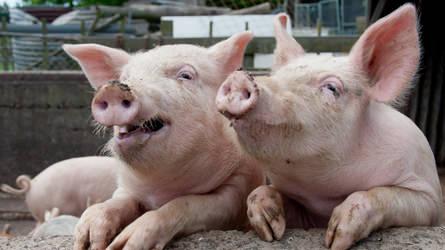 Les cas de diarrhée épidémique porcine doivent être obligatoirement signalés