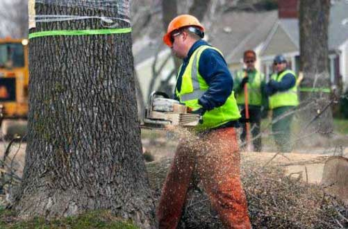 Agrile du frêne : Un renforcement de la lutte avec une somme supplémentaire de 2,6 M$