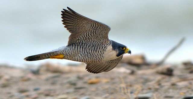 L'oiseau le plus rapide est le Faucon pèlerin