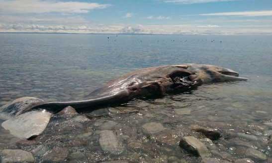 La Carcasse d'une baleine vendue sur eBay : La vente en ligne annulée par le site