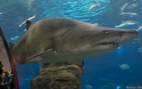 Les requins primitifs : La revue Nature publie une nouvelle découverte