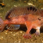 Des poissons qui marchent au lieu de nager