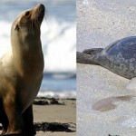 La différence entre un phoque et un lion de mer se remarque au niveau des oreilles