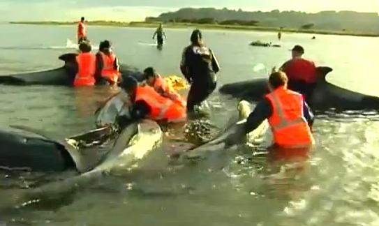 36 baleines mortes sur une plage de la Nouvelle Zélande : 21 cétacés ont pu être sauvés