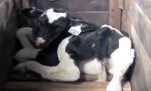 Un éleveur de veaux fait face à des accusations de cruauté envers les animaux