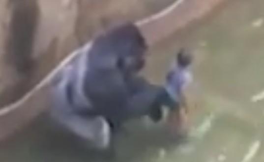 Un gorille tué au zoo de Cincinnati afin de sauver un garçon de trois ans