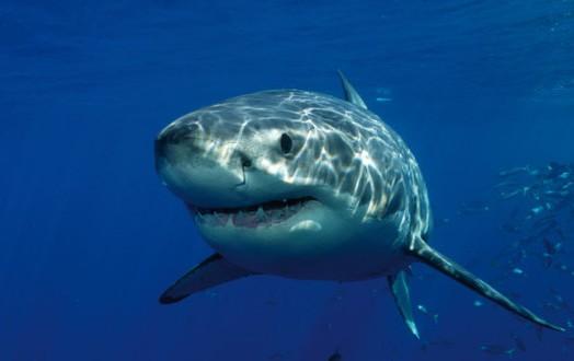 Attaque de requin en Australie : Une plongeuse d'une soixantaine d'années perd la vie