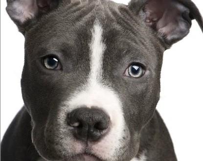 Pitbulls : La SPCA promet de s'opposer à la décision du maire Coderre