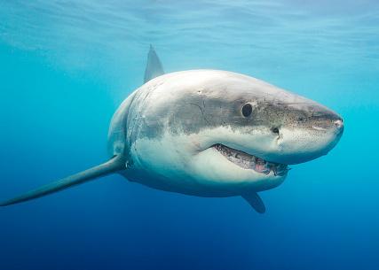 Attaque de requin blanc en Californie