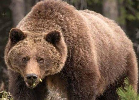 Un grizzly tue une femme et son bébé de 10 mois à Yukon